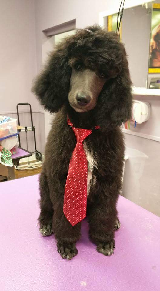 Admiration Standard Poodles » Standard Poodle Puppies Available!