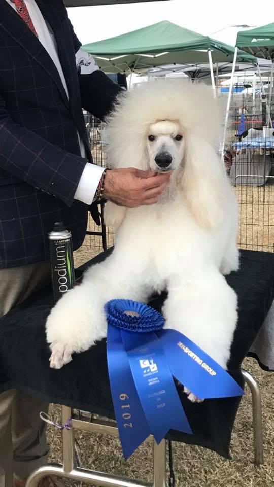 Adorable Standard Poodle Dog Show Winner
